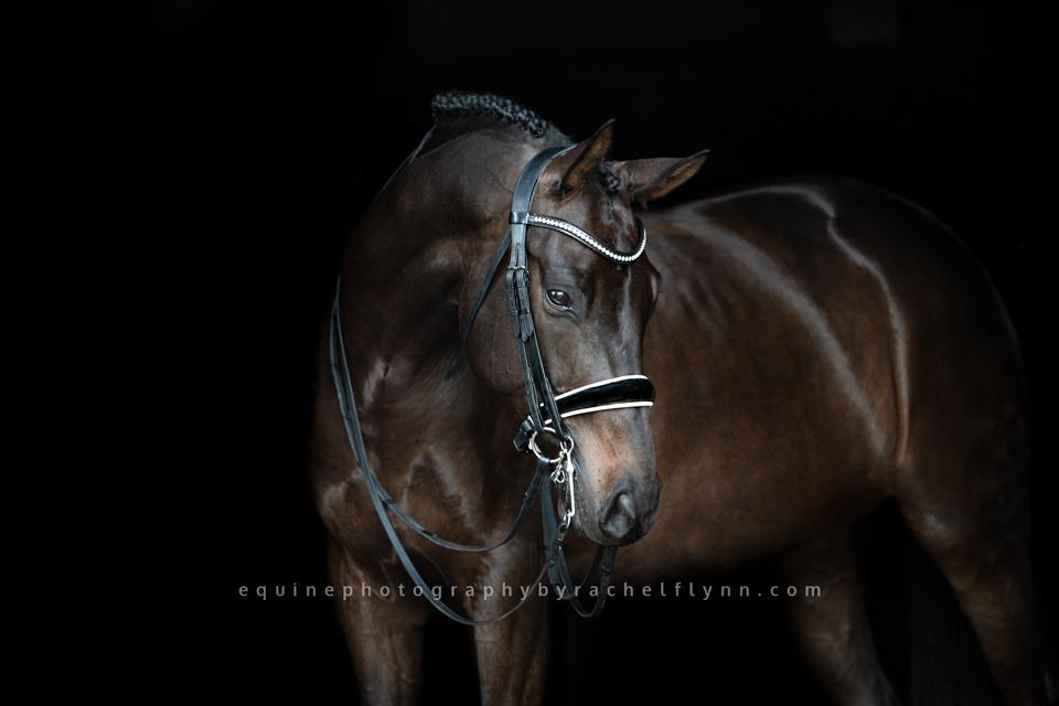 Equine Portraiture by Rachel Fllynn